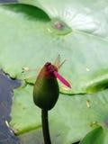 蜻蜓照片 免版税库存图片