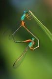 蜻蜓爱垂直 免版税库存照片