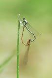 蜻蜓爱 库存图片