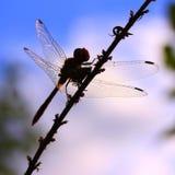 蜻蜓的剪影 库存照片