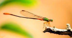 蜻蜓目-橙色被盯梢的沼泽箭 免版税库存照片