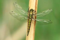 蜻蜓目 免版税图库摄影