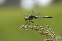 蜻蜓种子 免版税库存图片