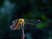 蜻蜓等待 免版税库存照片
