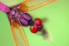 蜻蜓红色微小 免版税库存图片