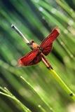 蜻蜓红色 免版税库存图片