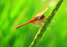 蜻蜓红色 免版税图库摄影