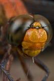 蜻蜓纵向红色射击 库存图片