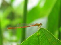 蜻蜓绿色叶子 免版税库存照片