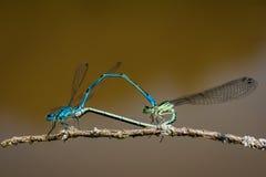 蜻蜓联接 库存照片