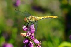 蜻蜓花 库存图片
