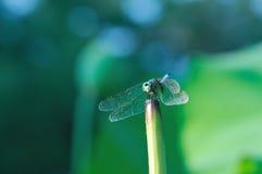 蜻蜓莲花被栖息的茎 免版税库存图片