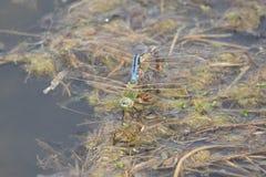 蜻蜓蜜月 免版税图库摄影