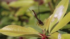蜻蜓蜻蜓昆虫红色 影视素材