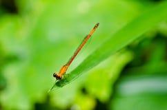 蜻蜓蜻蜓红色的一点 库存图片