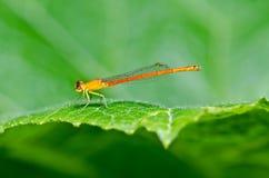 蜻蜓蜻蜓红色的一点 免版税库存照片