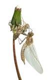 蜻蜓诞生 免版税库存照片