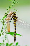 蜻蜓重生 库存图片