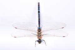 蜻蜓顶视图 免版税库存照片
