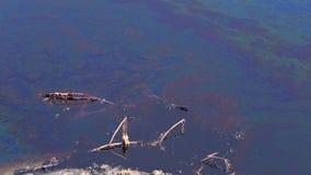 蜻蜓飞行在漏油和死的植物,池塘,水 影视素材