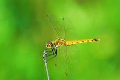 蜻蜓黄色 库存照片