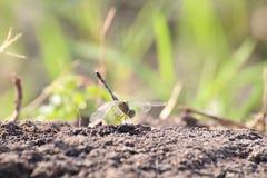 蜻蜓,在地面土壤自然的蜻蜓 免版税库存图片