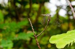 蜻蜓 图库摄影