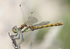 蜻蜓012 库存图片