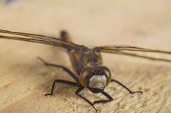 蜻蜓5 库存图片