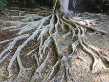 蜿蜒树的根对称地向外 库存图片