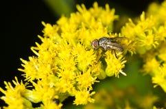 黑蝇和花 免版税库存照片