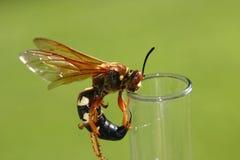 蝉凶手黄蜂 免版税图库摄影