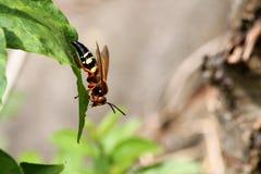 蝉凶手黄蜂 图库摄影
