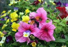 蝉凶手黄蜂 免版税库存图片
