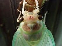 蝉在诞生期间的` s面孔特写镜头  库存照片