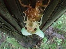 蝉在诞生期间的` s面孔特写镜头  免版税库存图片