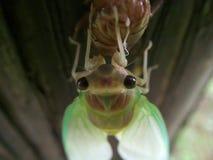 蝉在诞生期间的` s面孔特写镜头  库存图片