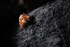 蝉外骨骼imperatoria pomponia 免版税库存照片