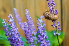 蝉昆虫空的外骨骼紧贴对紫色花钉 免版税图库摄影