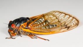 蝉的宏观图象从巢的II 免版税库存图片