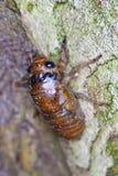 蝉的幼虫 免版税库存照片