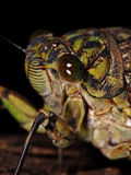 蝉的头(秋蝉pruinosus)的宏观照片 免版税库存照片