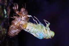 蝉的eclosion 库存照片
