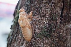 蝉科动物 蜕变在树的蝉 免版税库存图片