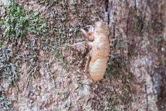 蝉科动物 蜕变在树的蝉 免版税图库摄影