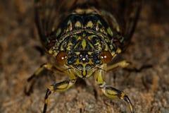 蝉(秋蝉pruinosus)的宏观照片 免版税库存图片