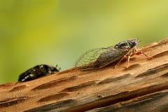 蝉Euryphara,叫作欧洲蝉,爬行在一棵树的树干在绿色背景的 库存照片