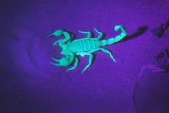 蝎子夜摄影在一个紫外手电的光的下 Hadrurus arizonensis,巨型沙漠长毛的蝎子 免版税库存照片