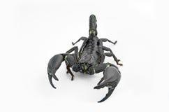 蝎子张 库存照片