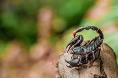 蝎子本质上 免版税库存照片
